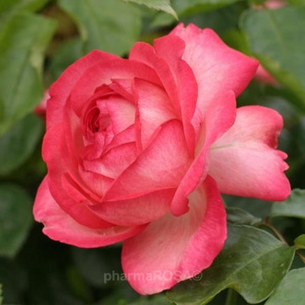 Climber Rose White Red Antike 89 Intensive Fragrance